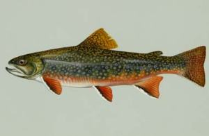 Historically, the only salmonid inhabiting these streams was the brook trout.