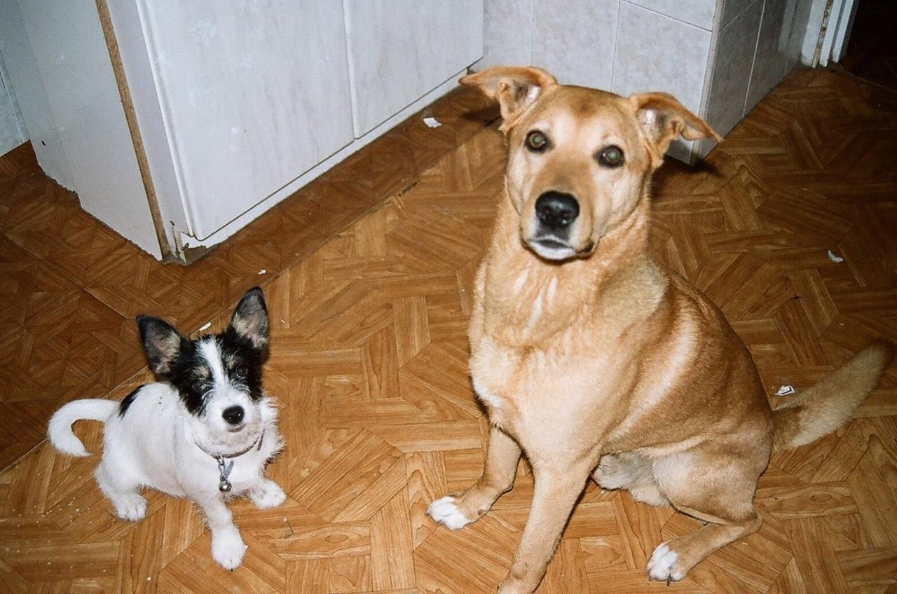Gigantism In Dogs  Gigantism In Animals
